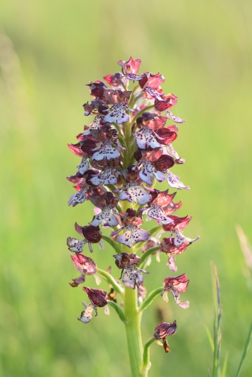 Lady Orchid (Orchis purpurea)